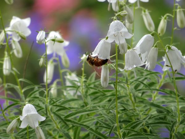 白花ヒメシャジンとミツバチ♪_a0136293_15585040.jpg