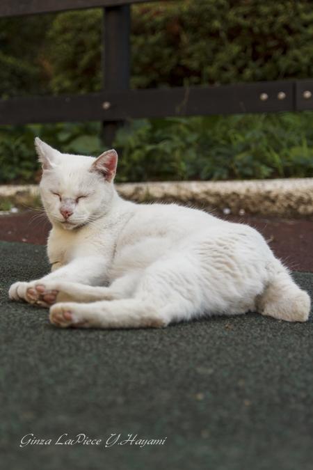 猫のいる風景 門仲のシロちゃん 肉球チラ見せ_b0133053_050363.jpg