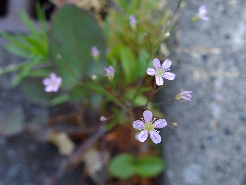 ミツバの花と路傍の花_c0025115_23244594.jpg