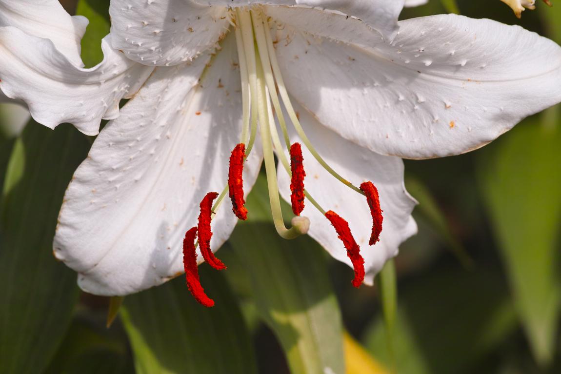 ゆいの花公園のカサブランカ 豪華な紅白のゆりを。_c0223825_843493.jpg
