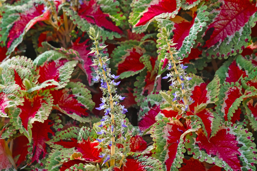 ゆいの花公園のカサブランカ 豪華な紅白のゆりを。_c0223825_850355.jpg