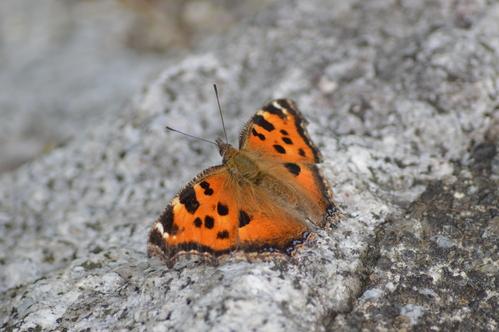 キリシマミドリシジミ他 鈴鹿山脈で出会えた蝶達!_d0254540_16462012.jpg