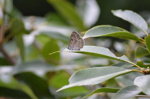 キリシマミドリシジミ他 鈴鹿山脈で出会えた蝶達!_d0254540_16474315.jpg