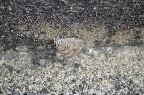 キリシマミドリシジミ他 鈴鹿山脈で出会えた蝶達!_d0254540_1648381.jpg