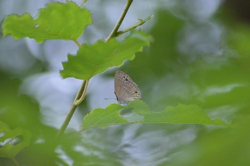 キリシマミドリシジミ他 鈴鹿山脈で出会えた蝶達!_d0254540_16495247.jpg