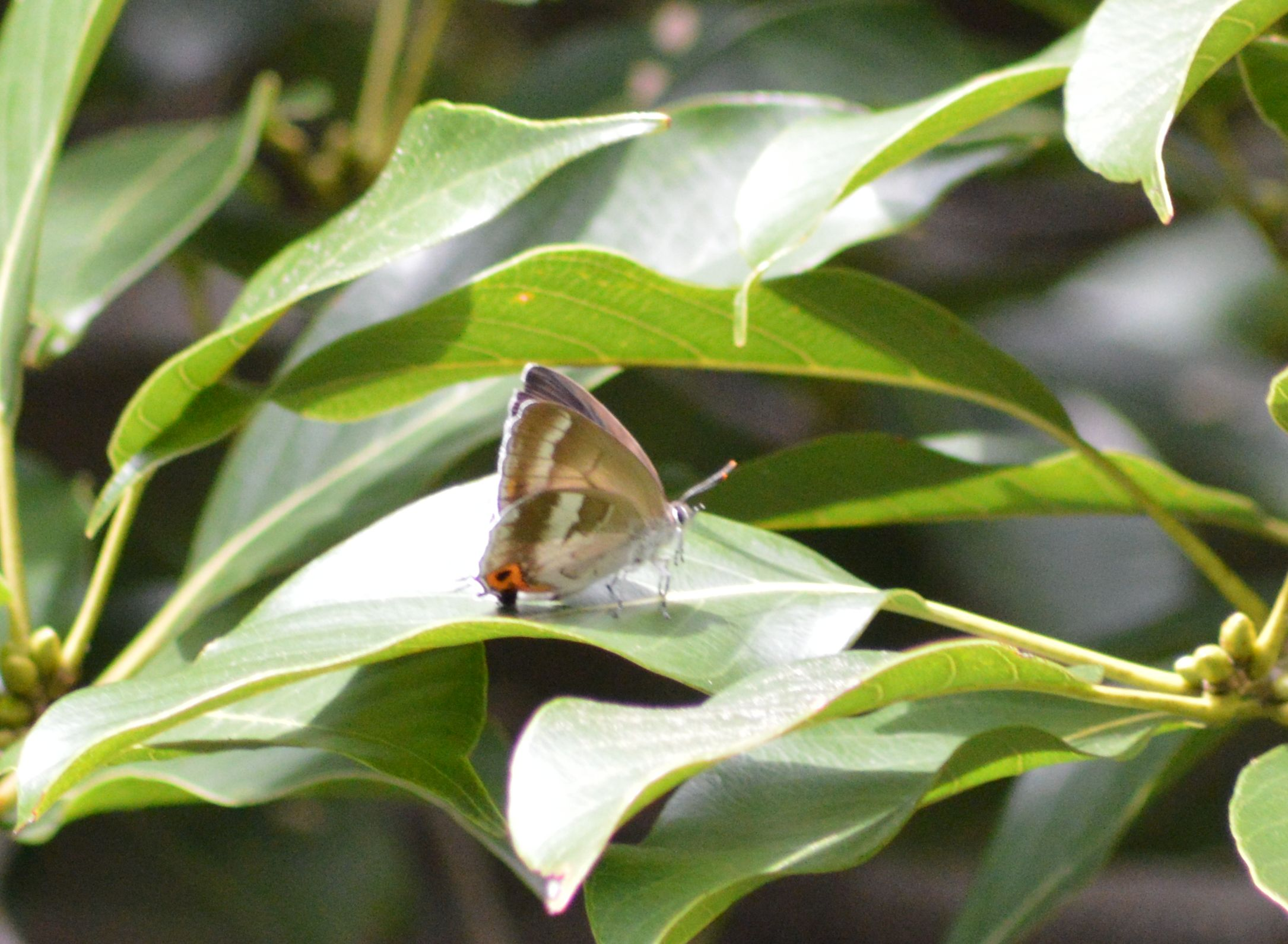 キリシマミドリシジミ他 鈴鹿山脈で出会えた蝶達!_d0254540_16554765.jpg