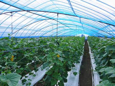夢キュウリ 収穫スタート&次の定植の準備作業_a0254656_16302614.jpg