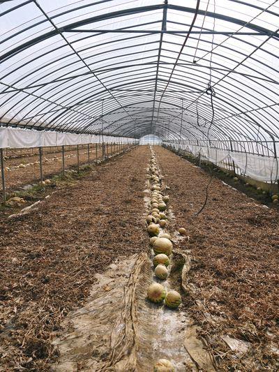 夢キュウリ 収穫スタート&次の定植の準備作業_a0254656_1730383.jpg