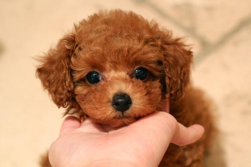新しく飼い主様募集開始したパピーちゃんです!_d0060413_20111068.jpg