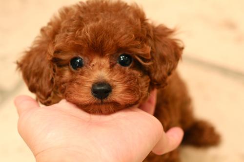 新しく飼い主様募集開始したパピーちゃんです!_d0060413_2011493.jpg