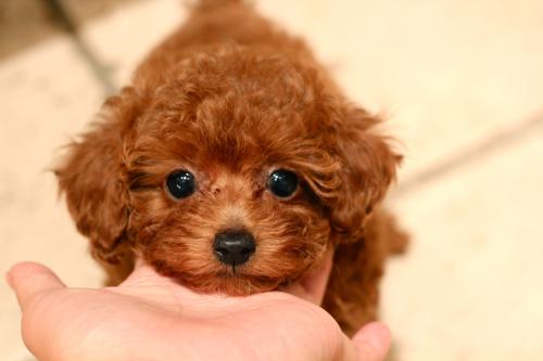 新しく飼い主様募集開始したパピーちゃんです!_d0060413_20115754.jpg