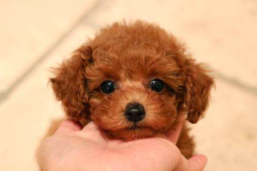 新しく飼い主様募集開始したパピーちゃんです!_d0060413_2011720.jpg