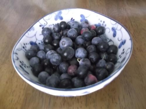 ブルーベリーの収穫.._b0137932_6173117.jpg