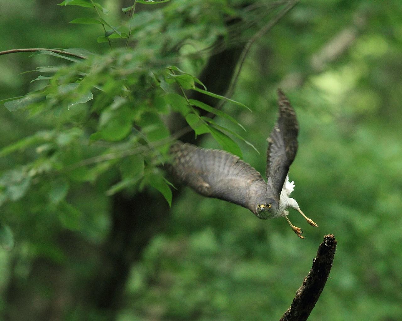 ツミお母さんの飛び出し(迫力ある猛禽の無料壁紙)_f0105570_10415320.jpg