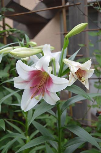 ユリの花のリレー_c0124100_23312643.jpg