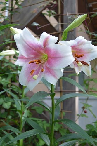 ユリの花のリレー_c0124100_23313248.jpg