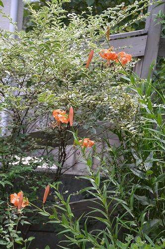 ユリの花のリレー_c0124100_23331478.jpg