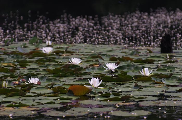 三河の大正池(小呂池)_c0047422_19281937.jpg