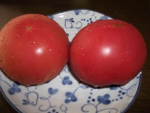 トマトの収穫..丸かじりで!_b0137932_20373872.jpg