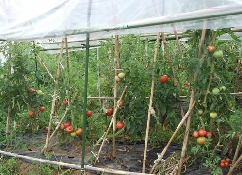 トマトの収穫..丸かじりで!_b0137932_2038315.jpg