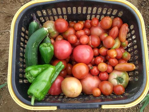 トマトの収穫..丸かじりで!_b0137932_20392060.jpg