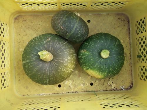 トマトの収穫..丸かじりで!_b0137932_2045182.jpg