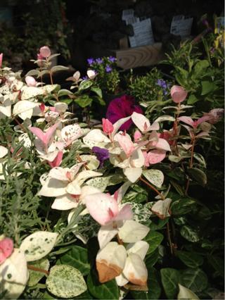 植物入荷。○_c0173939_1056879.jpg