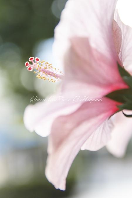 花のある風景 夏の花 ハイビスカス_b0133053_030406.jpg