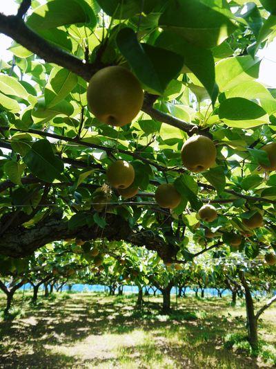 熊本梨 岩永農園 幸水、豊水、新高、新興と出荷していきます!!_a0254656_1650133.jpg