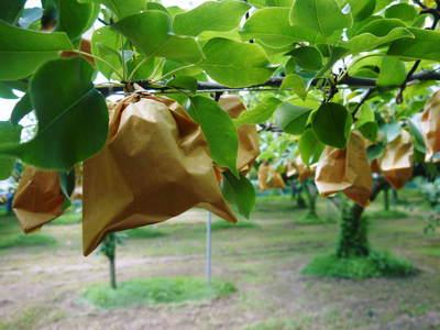 熊本梨 岩永農園 幸水、豊水、新高、新興と出荷していきます!!_a0254656_1728469.jpg