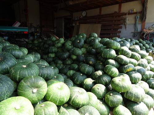前島は、カボチャの収穫が終わりました!_e0173183_1124464.jpg