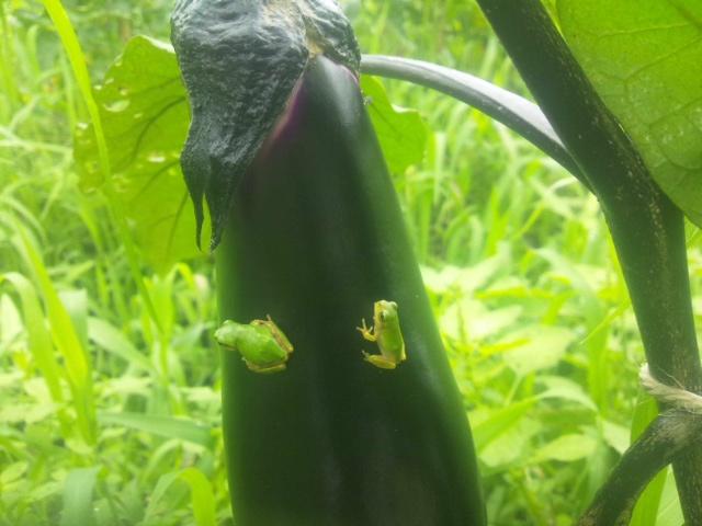 芋虫とかえる_a0138985_19224966.jpg