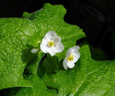 サンカヨウの種まき、春に播いた種の発芽状態など_a0136293_14385989.jpg