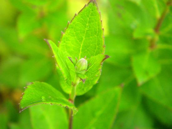 サンカヨウの種まき、春に播いた種の発芽状態など_a0136293_1504333.jpg