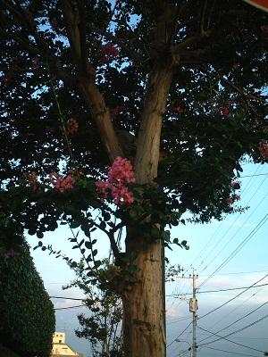 散歩 ~街路樹 夏の花~_b0228113_1642876.jpg