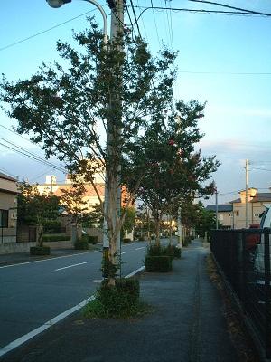 散歩 ~街路樹 夏の花~_b0228113_16452565.jpg