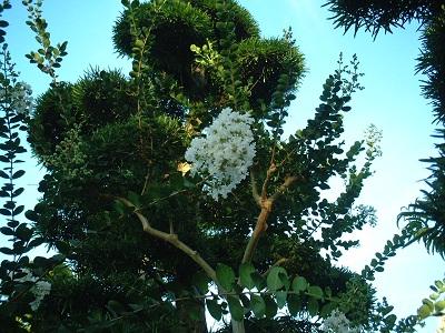 散歩 ~街路樹 夏の花~_b0228113_1646145.jpg
