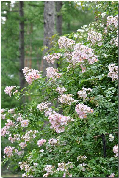 百合と薔薇 そして リナリア_d0109415_9394242.jpg