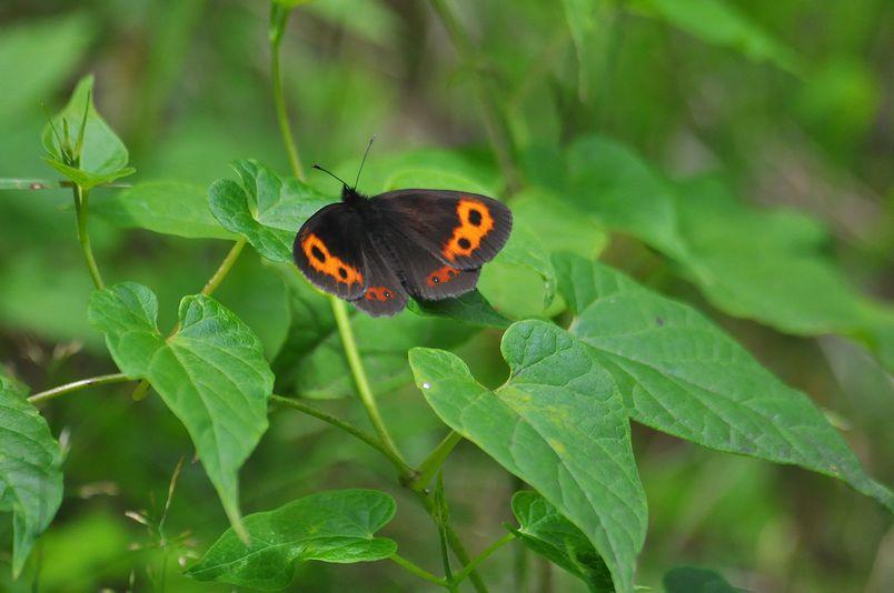 7月20~21日(晴れ)タイトル:信州遠征ジャノメチョウ科_f0105542_2112453.jpg