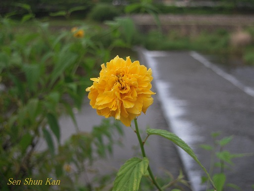 賀茂川の花 2013年7月_a0164068_21571353.jpg