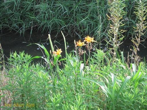 賀茂川の花 2013年7月_a0164068_21594927.jpg