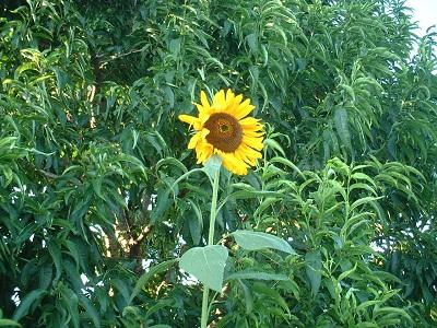 散歩 ~街路樹 夏の花~_b0228113_12292216.jpg