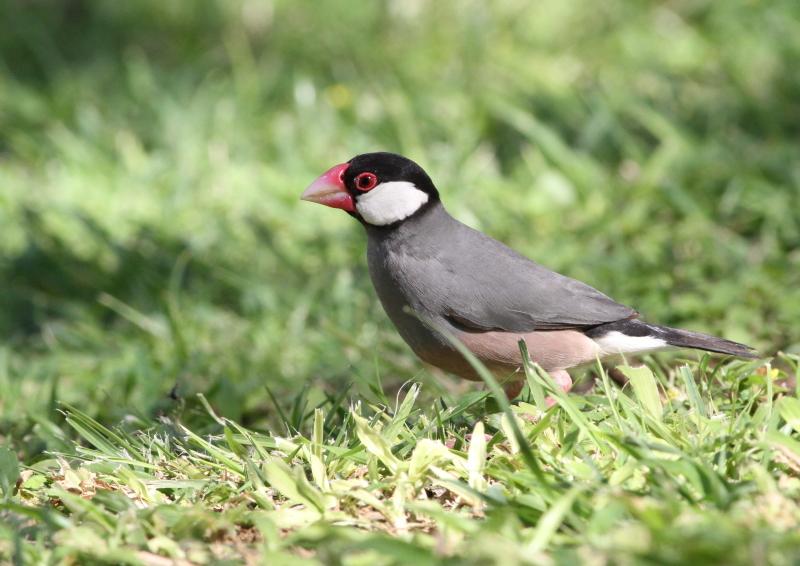 ハワイの野鳥-(2) : 『彩の国...