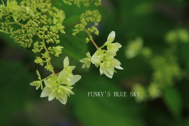 白い紫陽花*_c0145250_941377.jpg