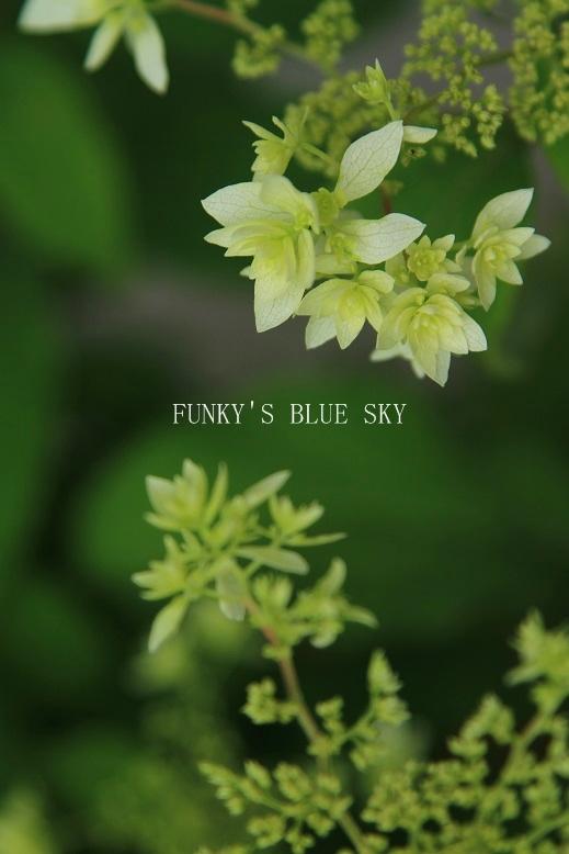白い紫陽花*_c0145250_941481.jpg