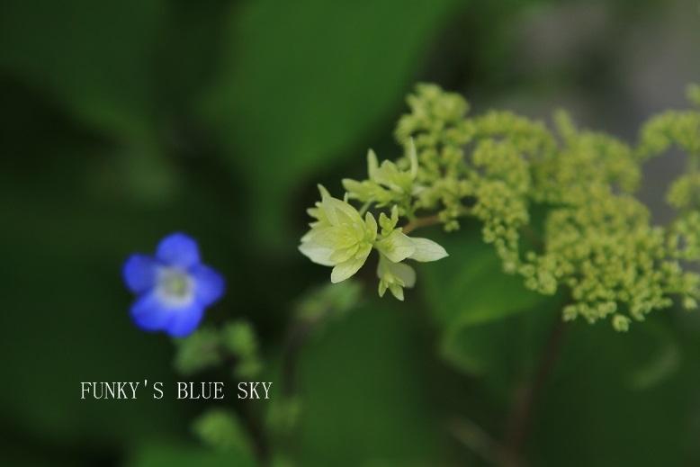白い紫陽花*_c0145250_9422136.jpg