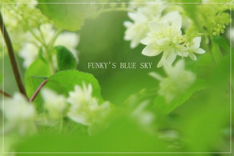 白い紫陽花*_c0145250_9422997.jpg