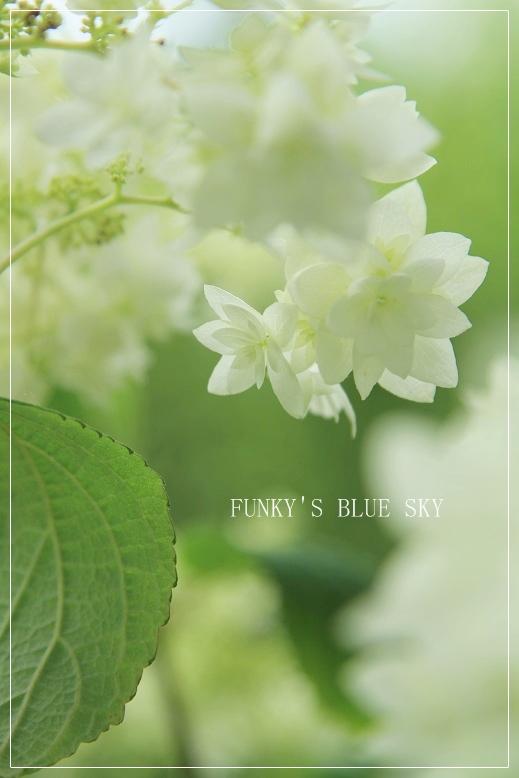 白い紫陽花*_c0145250_9425668.jpg