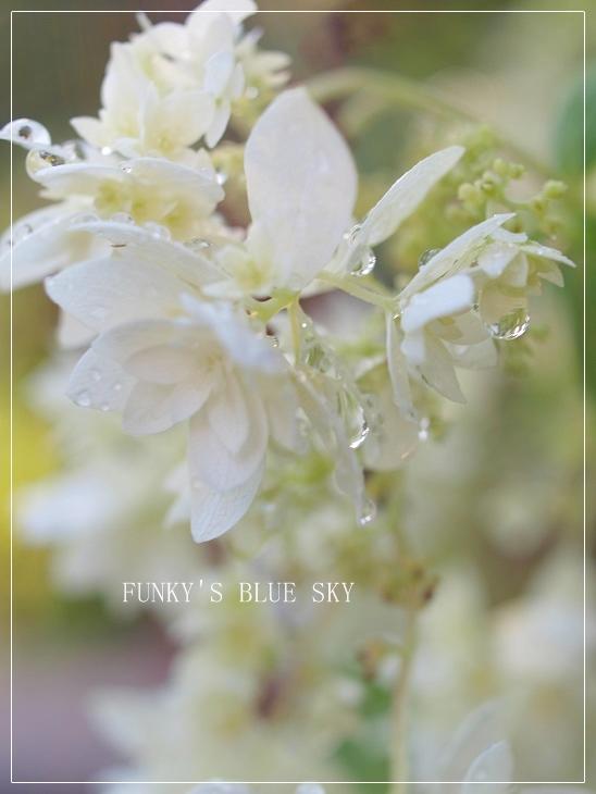 白い紫陽花*_c0145250_9431251.jpg