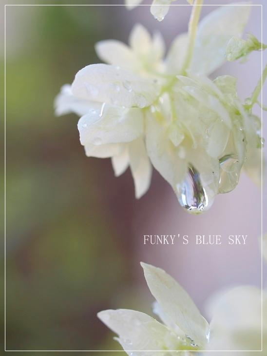 白い紫陽花*_c0145250_9431961.jpg